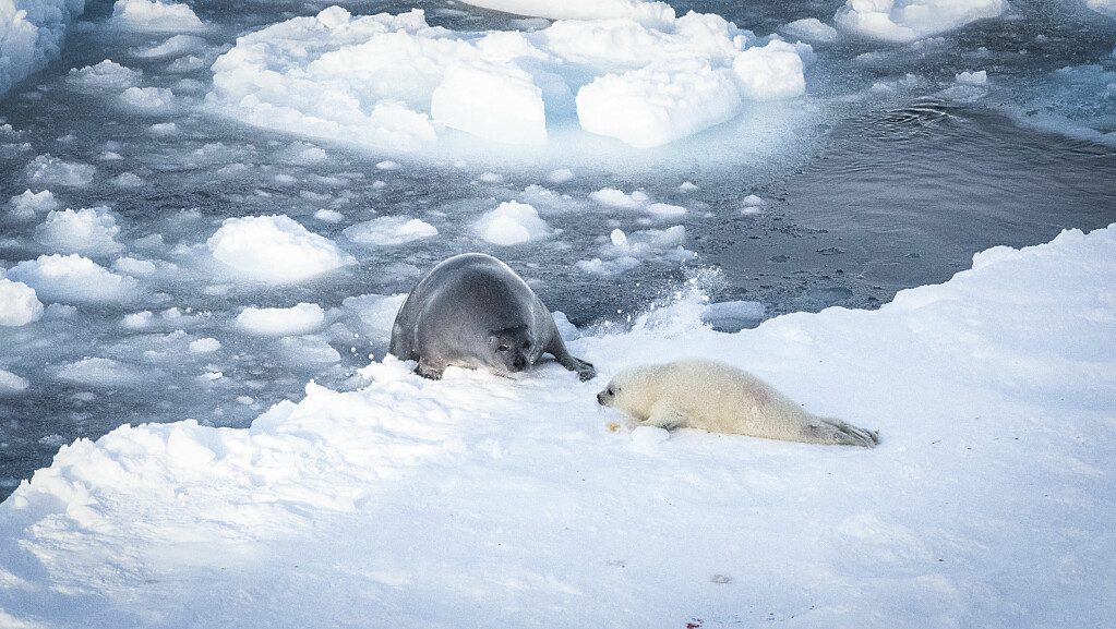 Hooded seals and harp seals are both dependent on drifting sea ice.