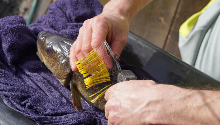Esben Moland Olsen has inserted a tracker, and marks one of the codfish before spawning.