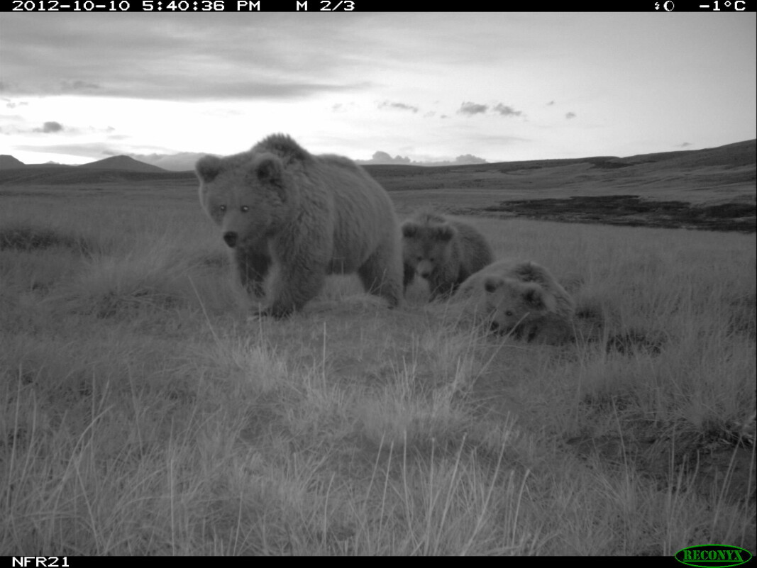 Picture of Himalayan brown bear taken with a wildlife camera. Mother with two cubs.