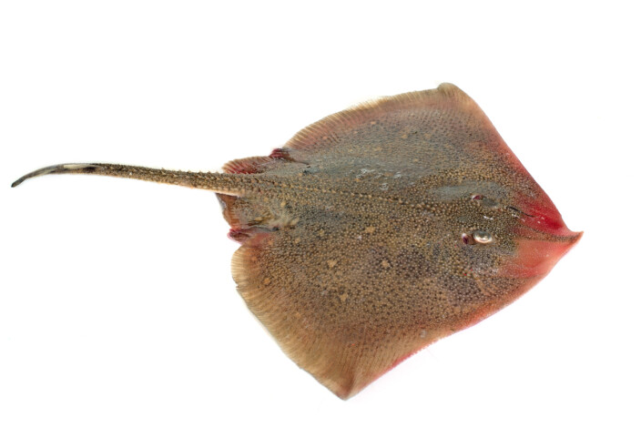 The ancestors of modern day rays – like the manta ray – went through a similar evolution: they increased their survival rates by becoming flat and easier to hide, but they did not lie down sideways as the ancestral flatfish. Instead, they settled straight down on the seafloor and started flattening themselves while keeping the original symmetry.