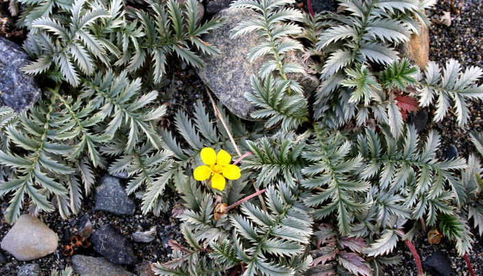Silverweed (Potentilla anserina) – the plant that proved to be the host plant for the new species of beetle.