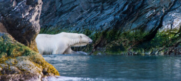 High levels of pollutants in polar bears from the Barents Sea – what are the reasons behind?