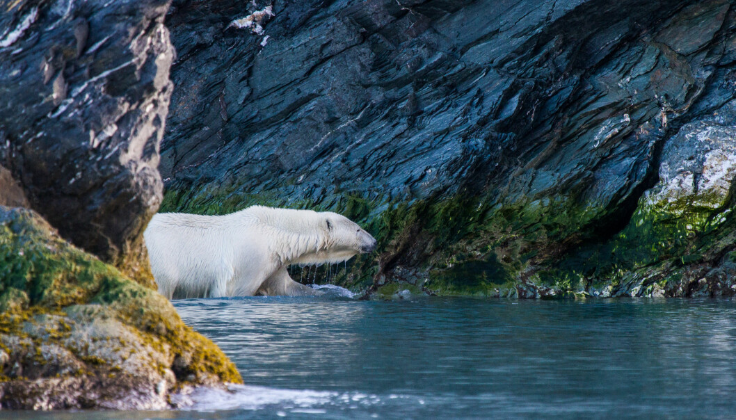 Polar bears are top predators of the Arctic ecosystem and can live for up to 30 years. This means they are exposed to relatively high levels of pollutants over a long period of time, which may cause a wide range of adverse health effects.