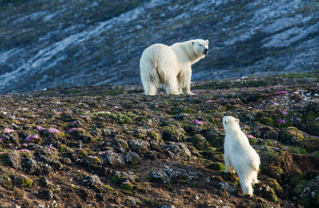 A female polar bear and her cub. Since she was observed in summer in Kongsfjorden, on the west coast of Spitsbergen, she is probably a coastal bear.