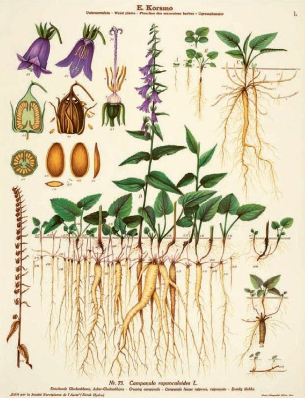 If creeping bellflower takes root in your garden, it is almost impossible to get rid of, writes Borgen.