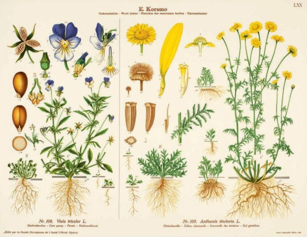 Korsmo considered the pansy a weed. It is popular as an ornamental plant. All parts of the plant are edible. It is also called Nordic vanilla, and the vanilla flavour can be extracted by adding the stems to liquid.