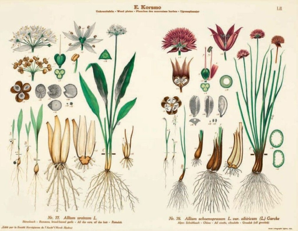 Wild garlic or bear's garlic smells and tastes of garlic, and is great to use in food. Throughout history it has also been used medically.