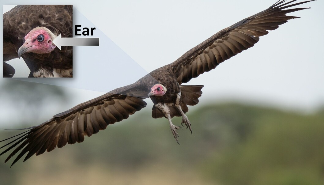 New research shows that the vulture uses hearing, and not just vision, when looking for food. This is a hooded vulture.