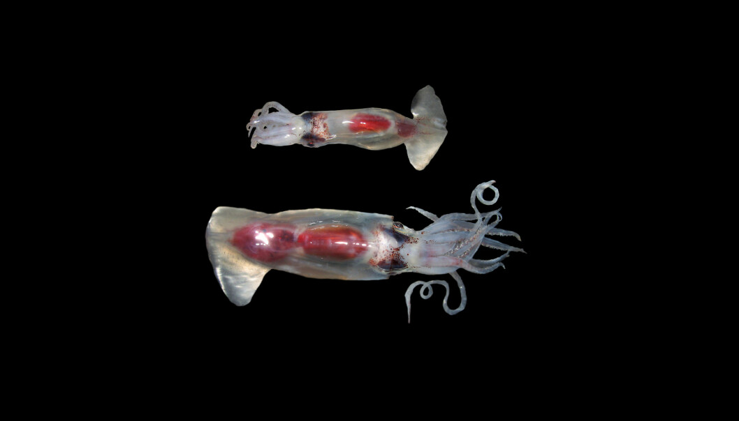 Gonatus fabricii, the Boreoatlantic Armhook Squid, is by far the most abundant squid in the Arctic and sub-Arctic North Atlantic where it spends its entire life (in contrast to other species). It forms an important prey species for certain marine mammals in particular. While squid tissue is digested quickly in stomachs, their so-called beaks resist digestion and are used to identify squid as prey and infer their body size. Morphologically, this squid has a 'sibling' that looks very similar, and it is common that such similarities in appearance between species confound our knowledge on distributions and specific biological traits.