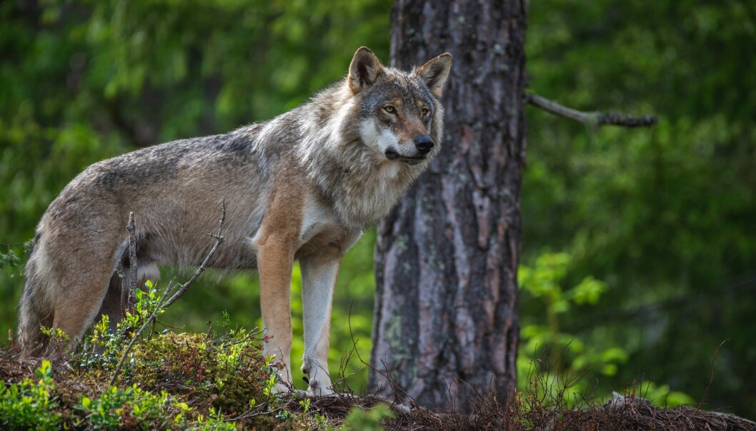 """Overall, the proposals from the Labour Party and the Progress Party reflect a desire to tighten the law so more predators can be shot, especially wolves,"" says social scientist Ketil Skogen. He studies conflicts over the use of nature and attitudes towards large predators."