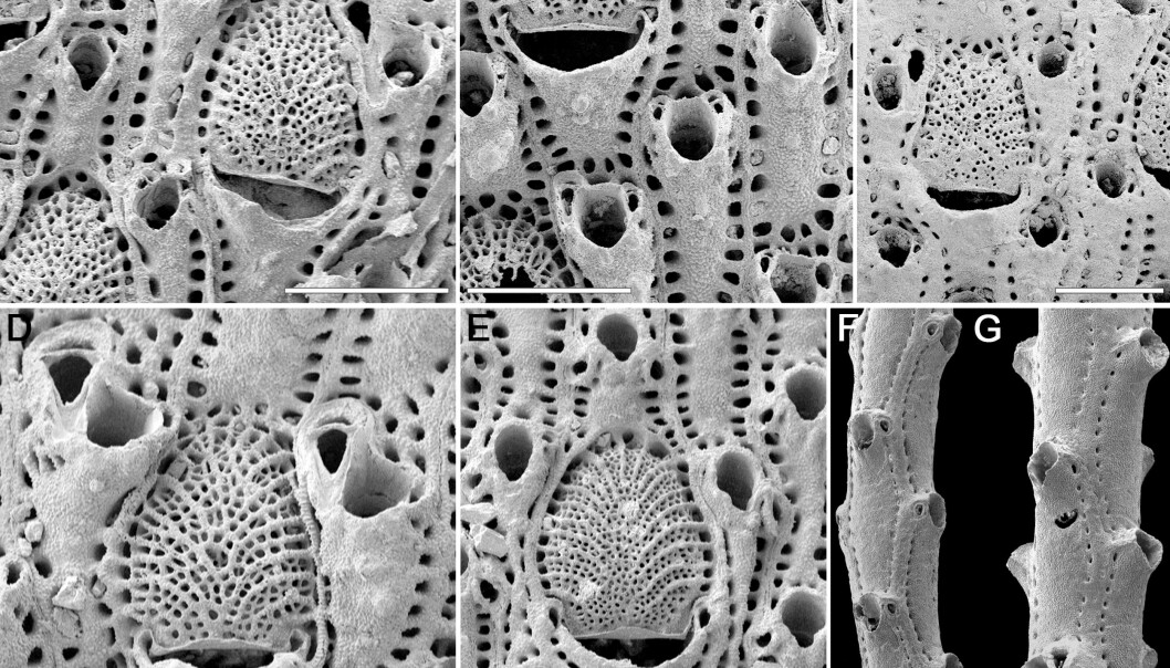 The picture shows the seven species of bryozoans that have been studied in the new paper. The white line in the image is 500 microns long.