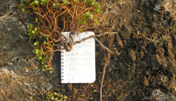 Le Moullec's small notebook provides a perspective on the size of the polar willow, Salix polaris, which she excavated as a part of her study.