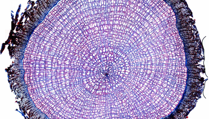 Where science really does become art: a magnified cross-section of an arctic willow, stained purple so that researchers could count growth rings. This actual image is made up of 70 different images from different parts of the cross section.
