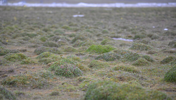 The Svalbard landscape, composed of a miniature forest of tiny polar willows.