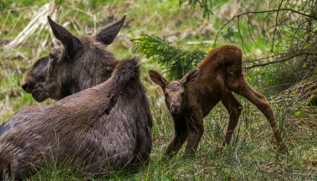 Feeding a calf requires a lot of energy from mama moose.