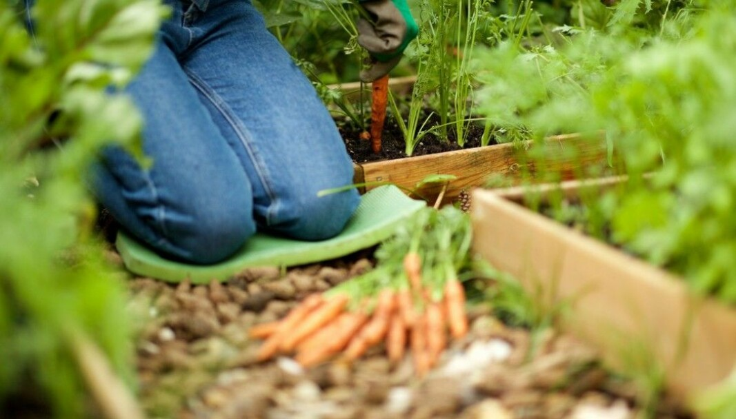 It has become popular for Norwegians to grow their own vegetables and herbs.