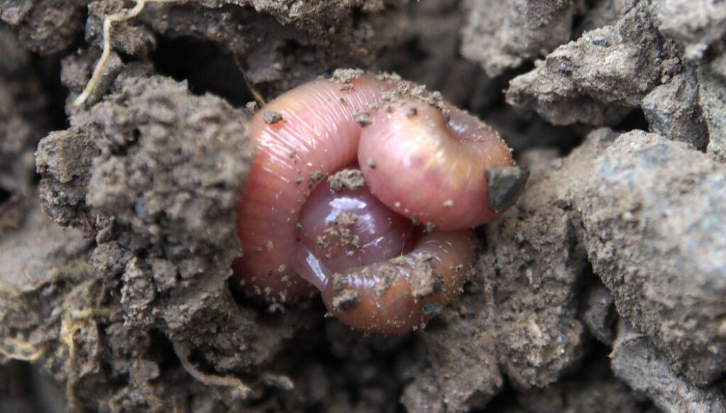 Earthworms mix organic matter into the soil. When it is winter or the soil is dry, the worms roll into a ball.