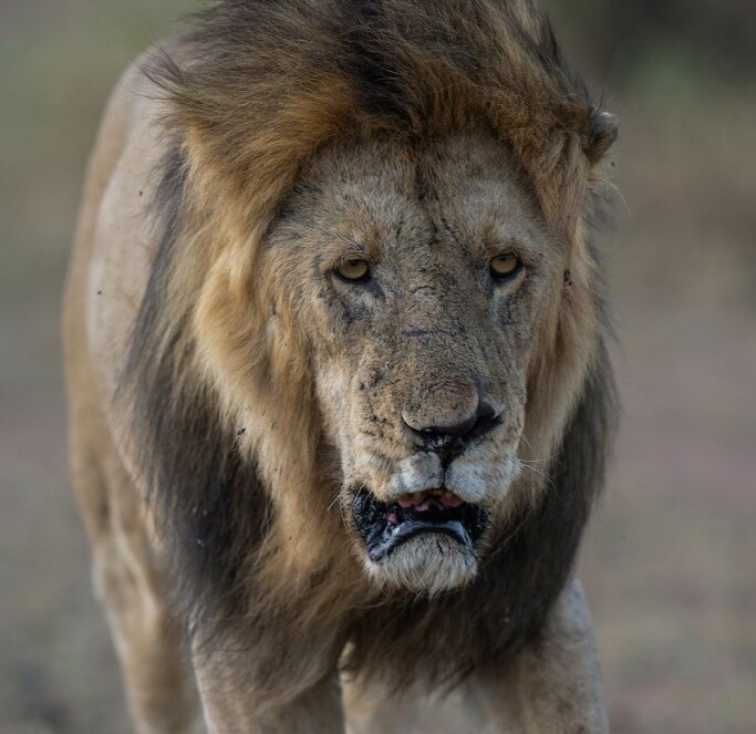 The lion has been a symbol of power for at least 6000 years. But now they need help.
