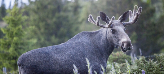 Moose lower body temperature and heart rate in winter