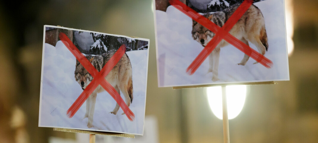 Political controversy over how Norway decides to shoot wolves