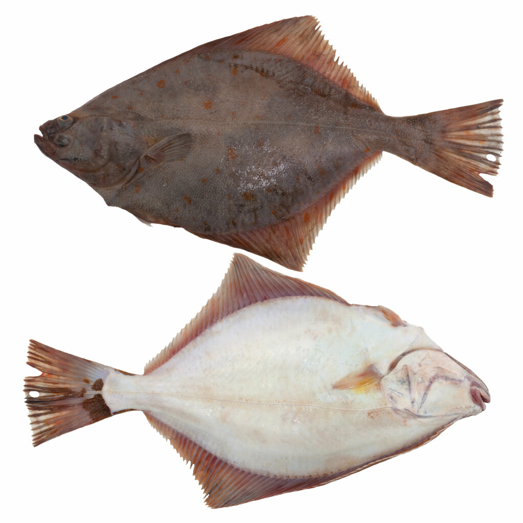 The European flounder lies on the sea bottom with one side down and the other up. The side facing down turns white, while the eye from this side moves up over to the other side of the body.