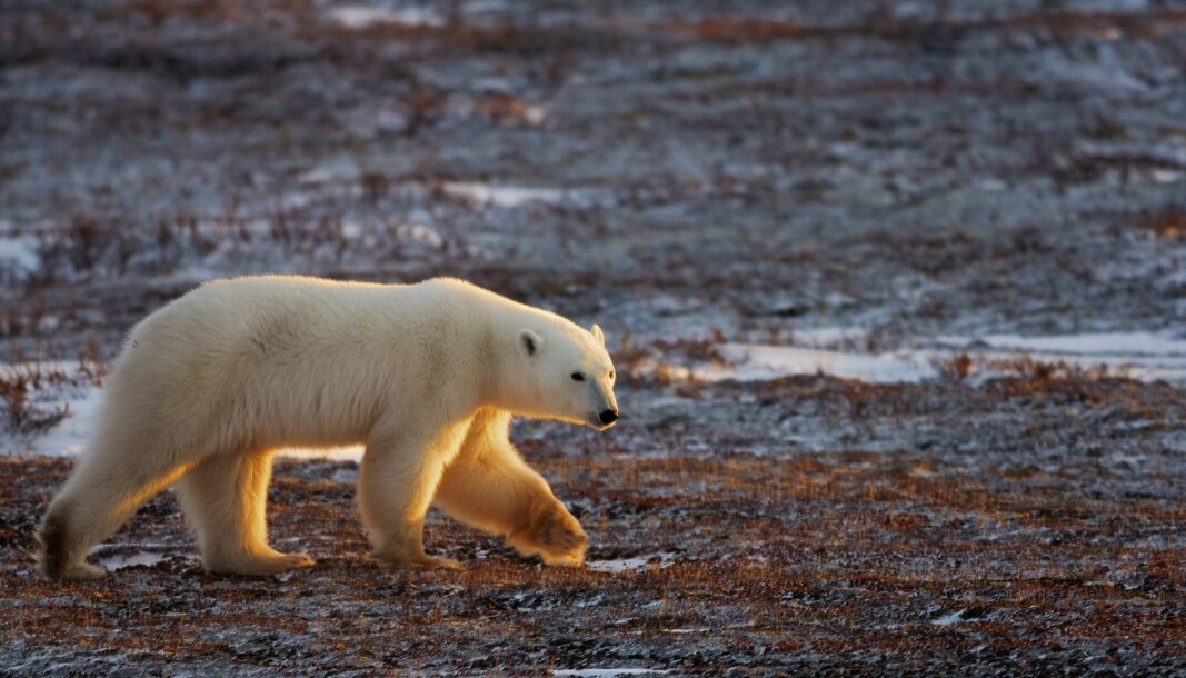 A polar bear walking on the trunda migrating as the Hudson Bay freezes outside Churchill, Manitoba, Canada. Canada is the only country in the world that allows commercial export of polar bear products. Norway is one of the importing countries.