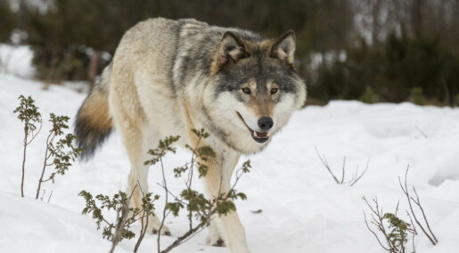 What kind of person supports illegal hunting of Norway's wolves?