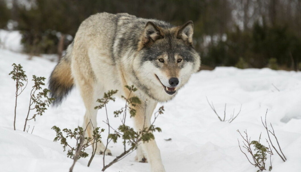 Norway's wolf population is highly controversial, with strong opinions regarding how many wolves should be allowed to live in the country.