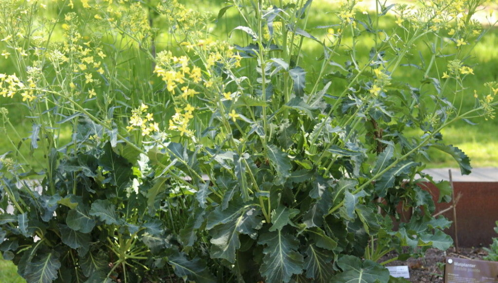 Different types of sea kale (<i>Crambe maritima</i>) are the mother plants of later species of cabbage, broccoli and cauliflower. Sea kale grows wild along beaches. Here is an example in the Viking garden.