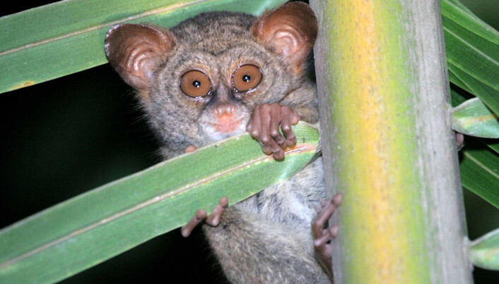 The Sangihe Tarsier is one of the species that is threatened by deforestation and clearing of ground vegetation for coconut production.