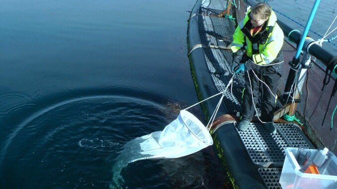 Here, Lone Jevne takes water samples outside a salmon cage to count lice that have not yet attached to salmon.