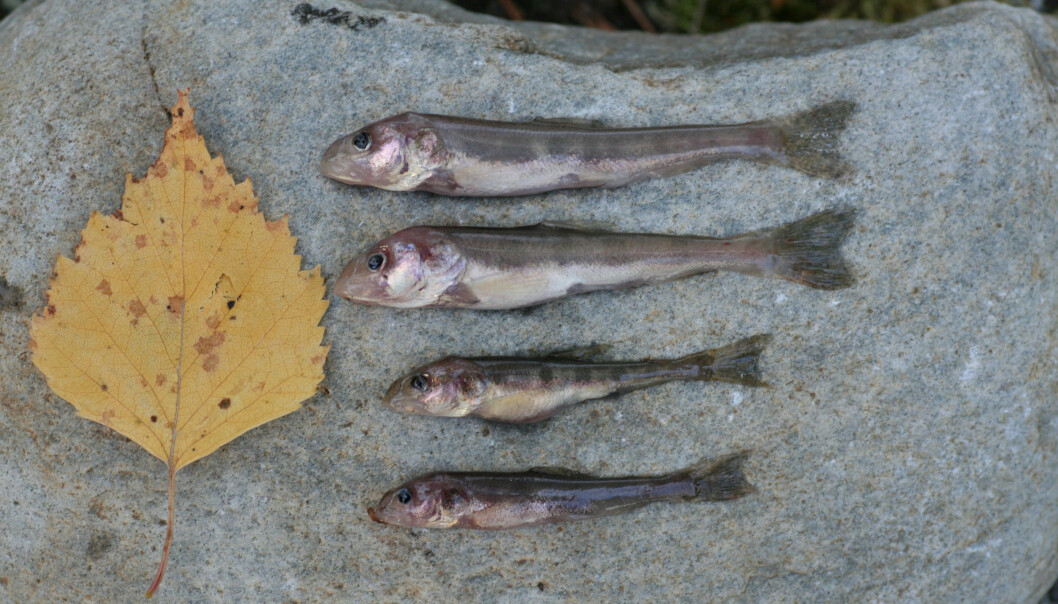 Four examples of the newly discovered tiny deep water char. For comparison of size - a small leaf.