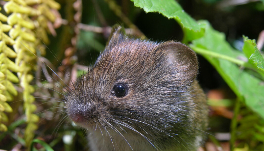 A bank vole roaming the forest.