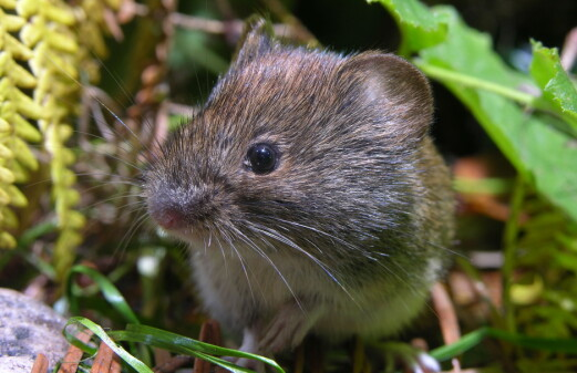 The rodents are back: Surprising amounts of mice in Eastern Norway