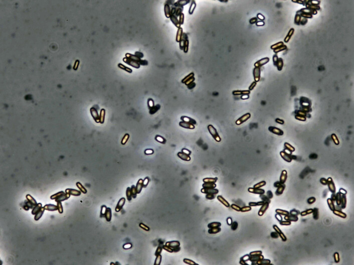 Bacillus licheniformis produces luminous spores inside the mother cell after three to five days when there is a lack of nutrition. The spore can withstand freezing temperatures, dry conditions and high temperatures. The image shows spores that have been magnified 1000 times under a microscop.