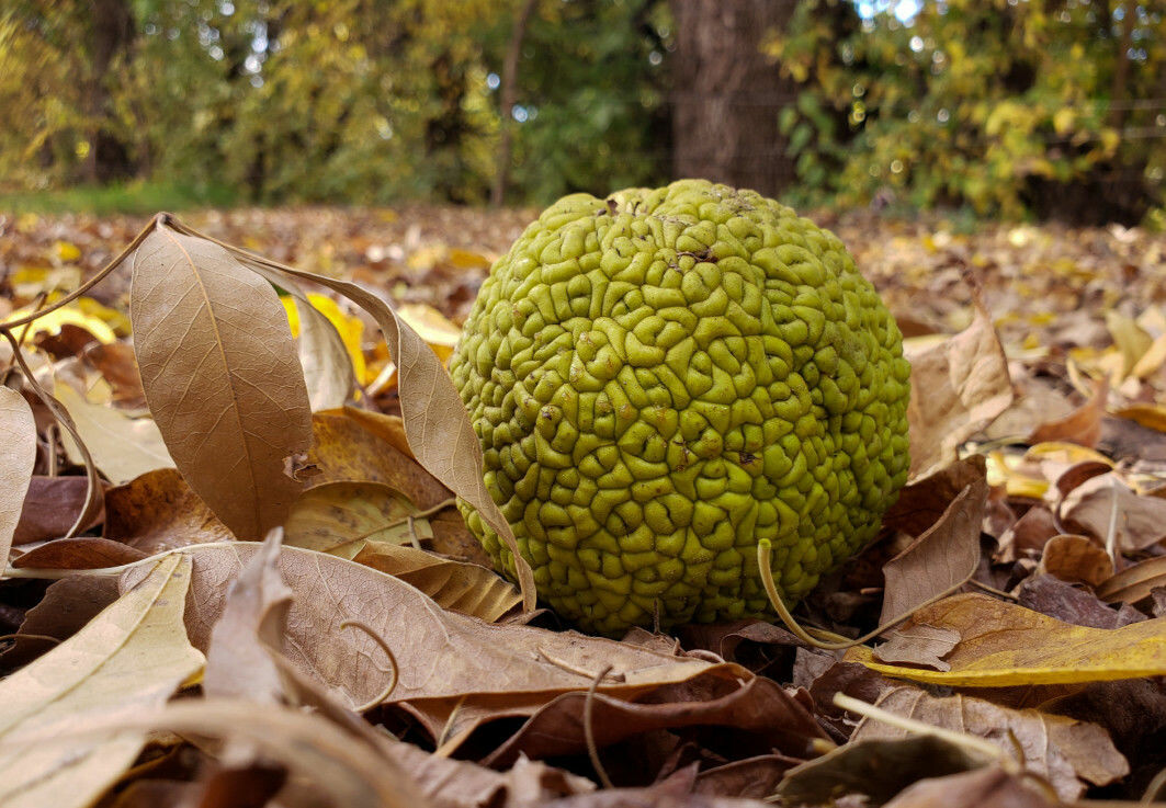 "<span class=""italic"" data-lab-italic_desktop=""italic"">Maclura pomifera</span>, or osage orange tree, uses a lot of energy to make large, heavy fruits. But no one is interested in eating them. So what's the point?"
