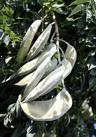 The fruits of the Kentucky coffeetree are leathery and poisonous to many animals alive today.