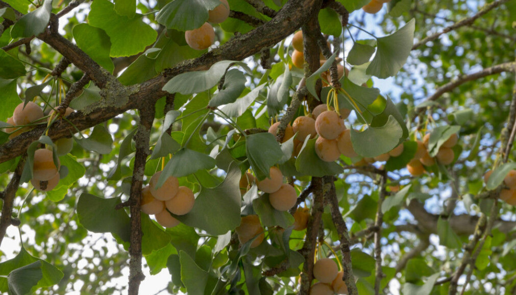 The seeds on the ginkgo tree look tempting, but smell of death and pain. The smell probably evolved for noses other than ours.