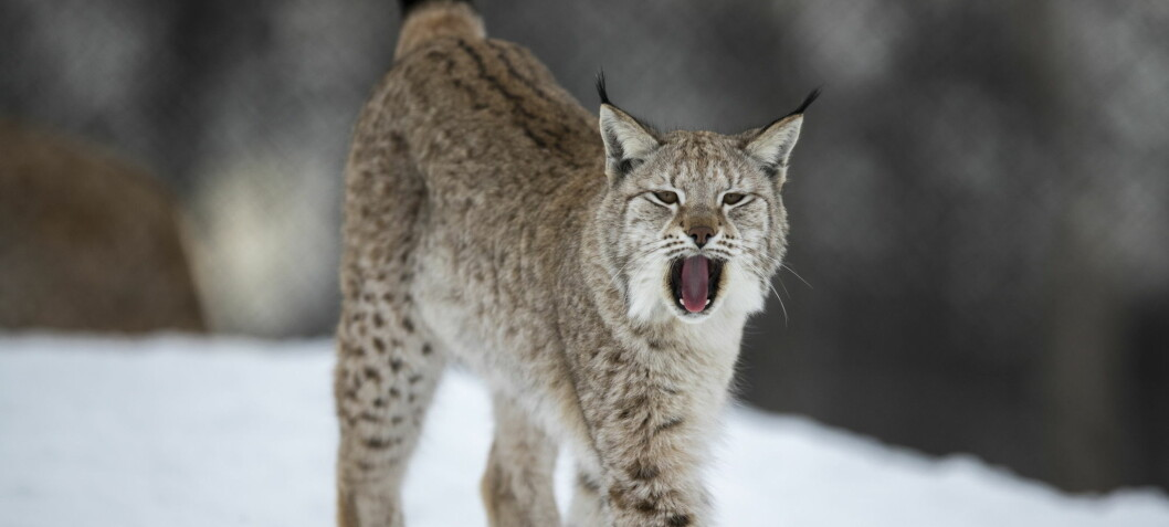 How lynx hide their dinner from scavengers