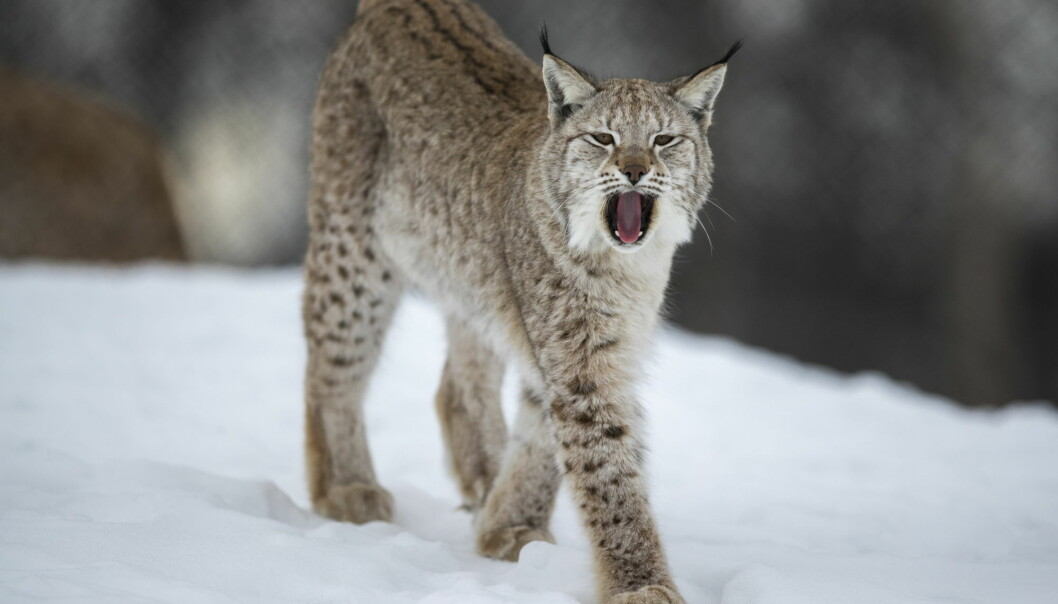 Eurasian lynx mainly prey on animals larger than themselves, like deer. And they don't like sharing their dinners.