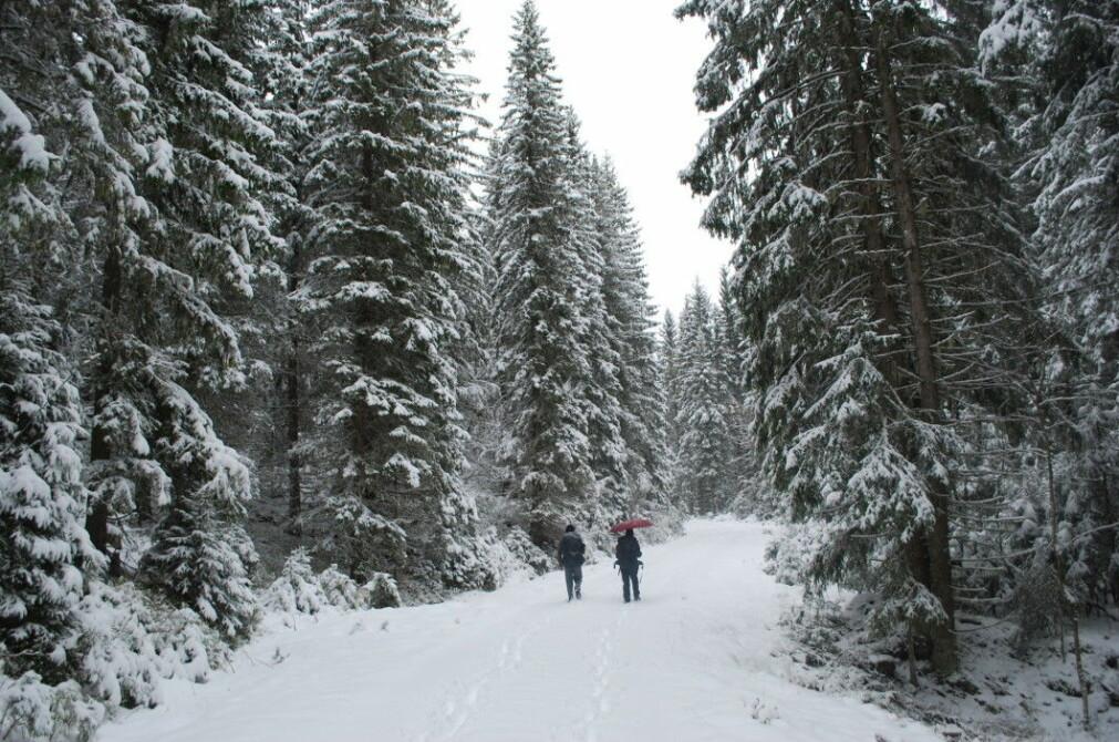 The spruce forest is dense, dark and towering when Mikkel Bølstad and journalist Elise Kjørstad walk up towards Skokjernfjellet.