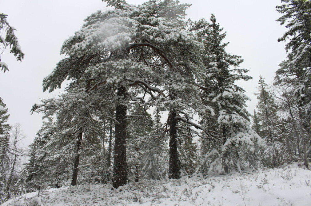 Different shapes of pines in the old forest.