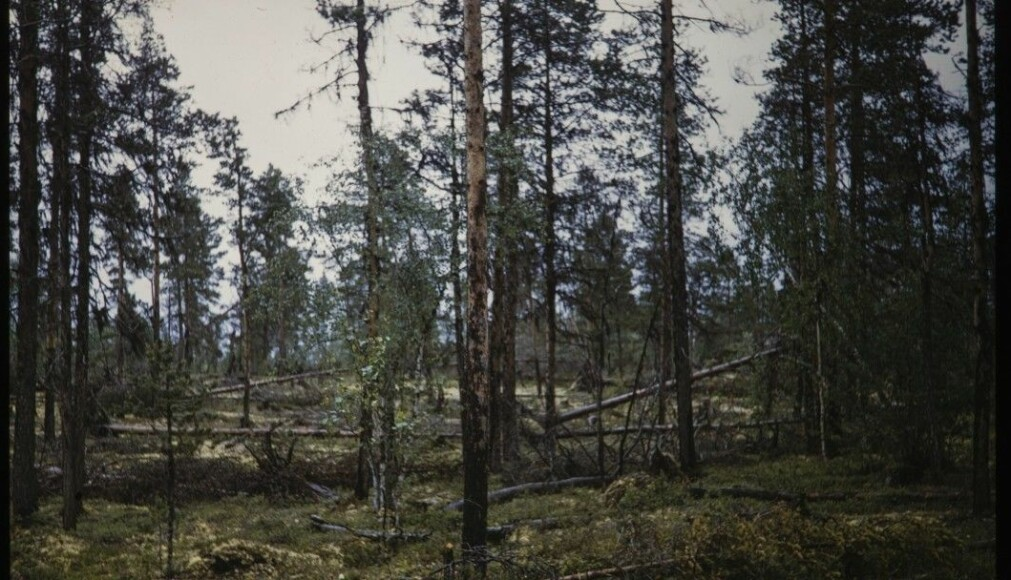 According to the Store Norske Leksikon, forests that can be called primeval forests are found in Pasvik, Gutulia by Femunden and in Trillemarka. This picture is from Øvre Pasvik in 1955.