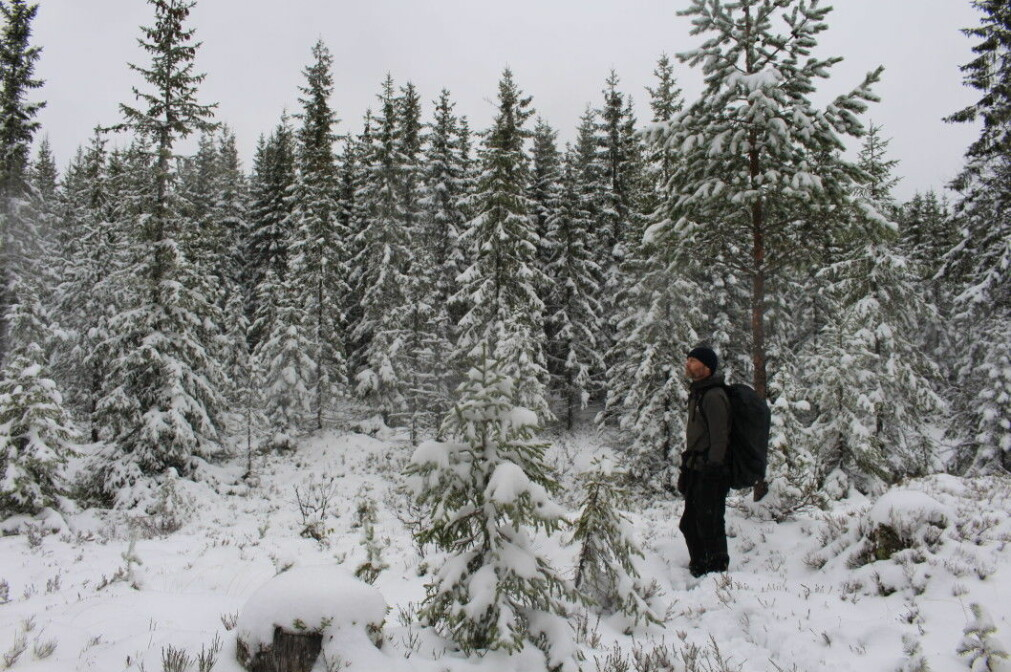 A field of planted spruce trees lies in between patches of old forest.