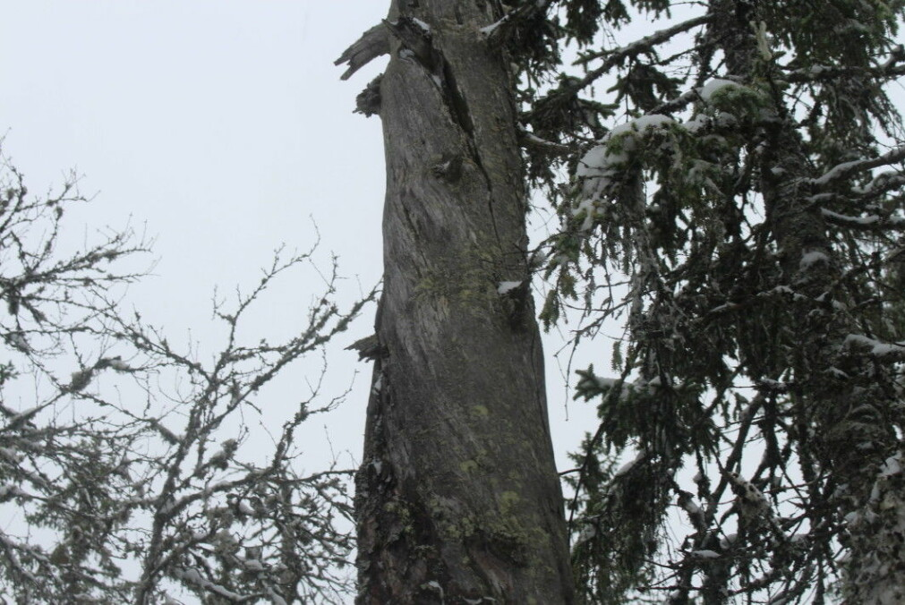 A dead or dying tree can be home to insects, lichens or fungi.
