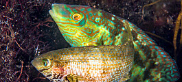 This fish grunts when it is ready to have sex