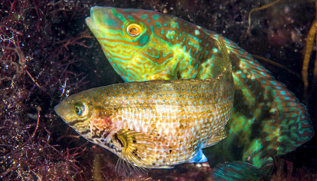 Grunt, click and plop is the language of the corkwing wrasse, a fish native to the eastern Atlantic Ocean from Norway to Morocco. This picture shows a colourful corkwing wrasse male in his nest, where he is visited by a slightly less colourful female.