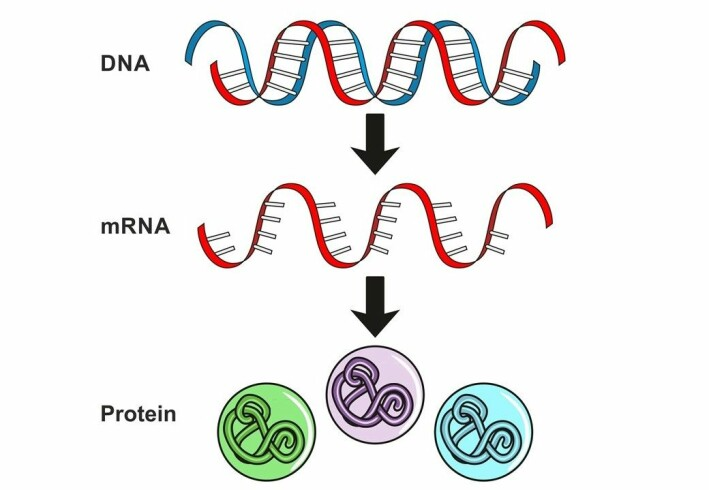 DNA is our genetic code, a bit like a cookbook with lots of recipes. In order for a gene encoded in DNA to cause something to happen in the body, a messenger is first needed to inform the cells what to produce. The messenger is called mRNA and is a short-lived copy of DNA. mRNA tells the cells which proteins to make.
