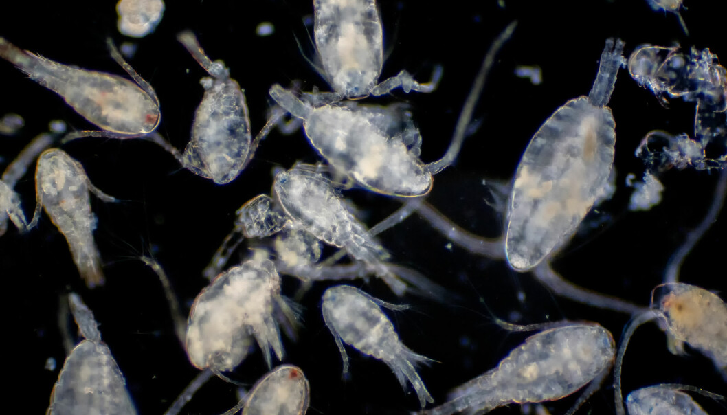 Zooplankton are the perfect packets of energy for animals like fish, birds and seals, to build up their important energy stores to survive the harsh polar night. Understanding these tiny animals is to understand the future.