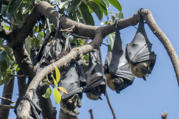All Norwegian bat species become torpid, says Claire Stawski. This image shows Australian bats, also called flying foxes or fruit bats.